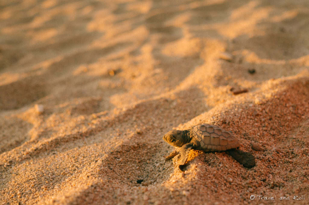 Baby turtle heading to the ocean