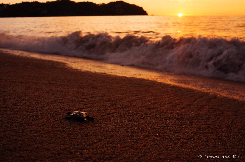 Baby turtle follows the sun in Sayulita