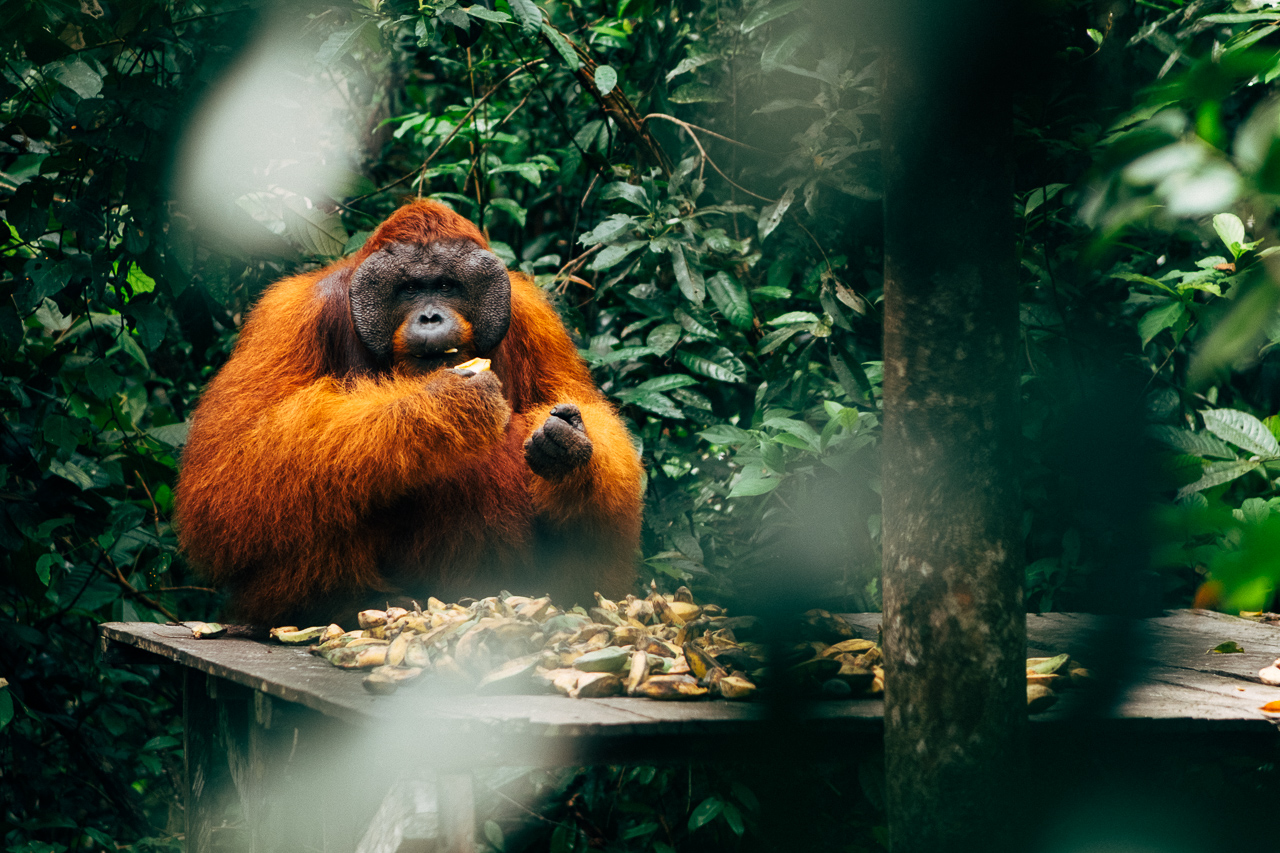 Deforestation in Indonesia - An orangutan eats bananas in a reserve