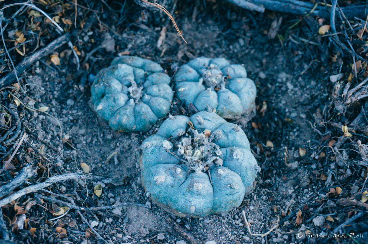 Real de Catorce, peyote that came to me