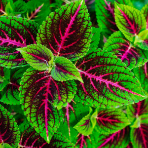 coleus, plant, color, green, pink